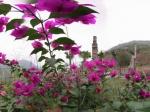 三角梅花中的全景全景