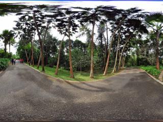 西双版纳中科院植物园 贝叶棕