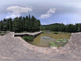 深圳仙湖植物园浮萍湖中现