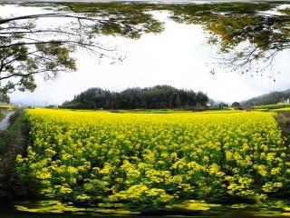 乡村的油菜花中全景