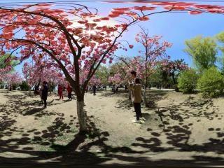 北京—海淀玉渊潭公园樱花节05全景