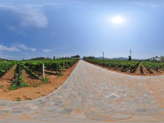 百亩葡萄地全景