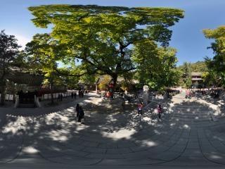 娑罗树全景